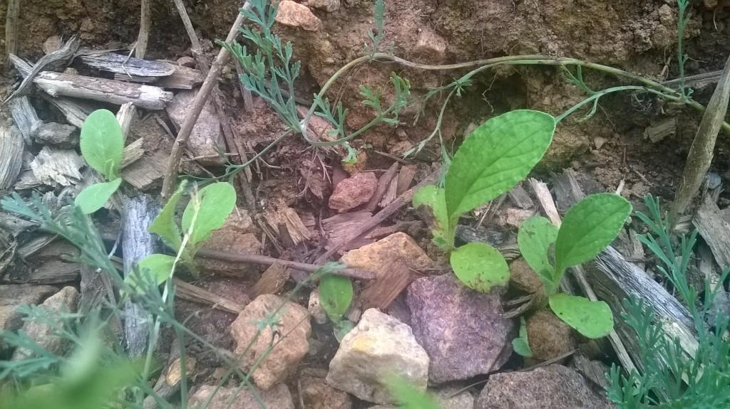 Borage reseeded itself even in unfriendly rocky soil.