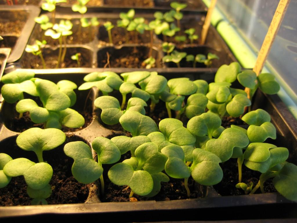 Wong Bok Seedlings